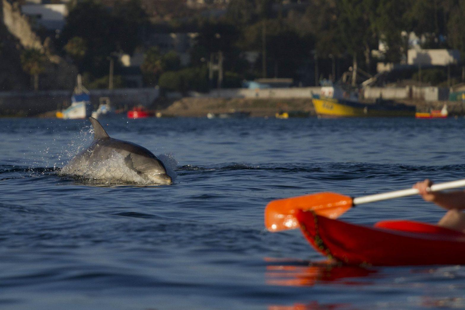 Delfín en la herradura